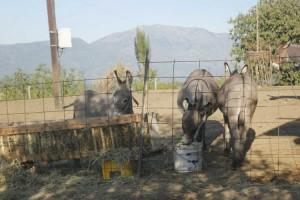 farma magaraca