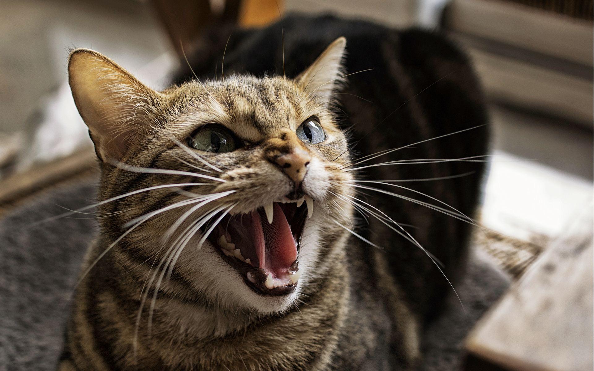 Ljuta macka
