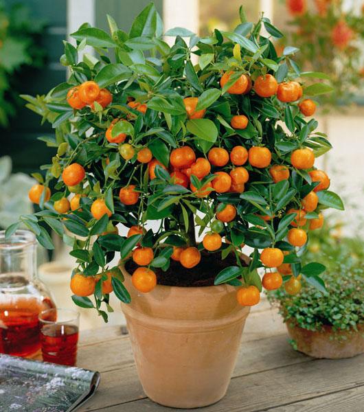 Drvo narandze