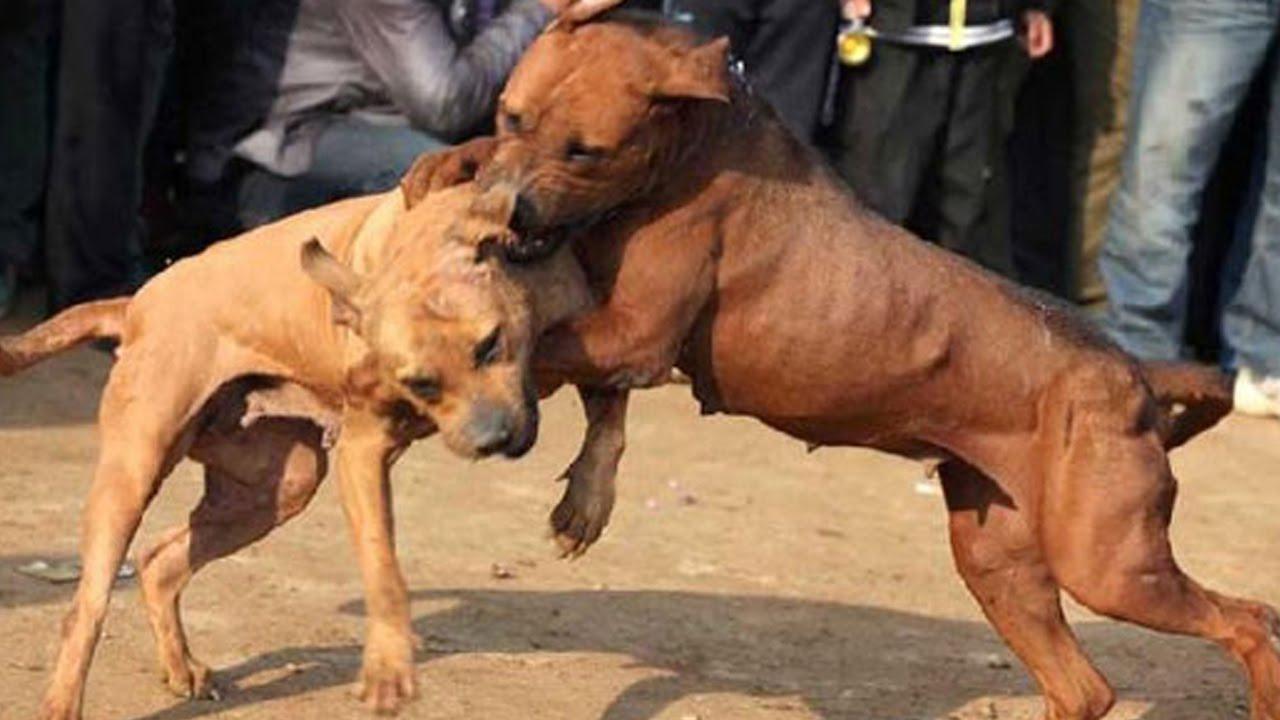 borbe pasa