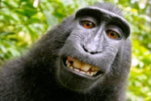 makaki majmun