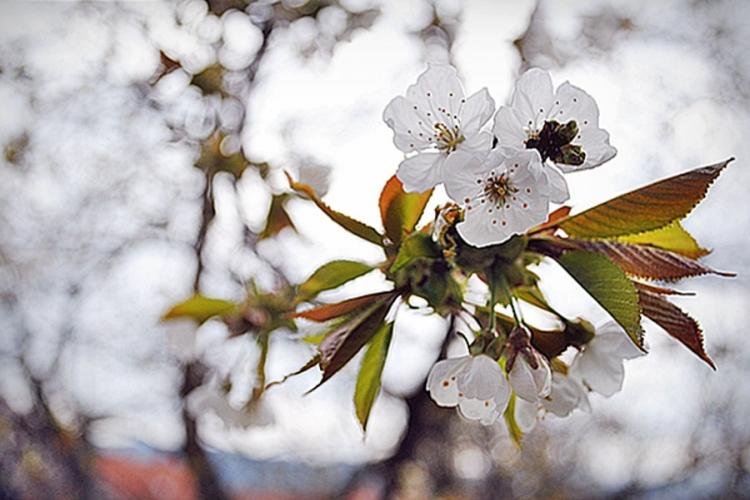 cvjetanje