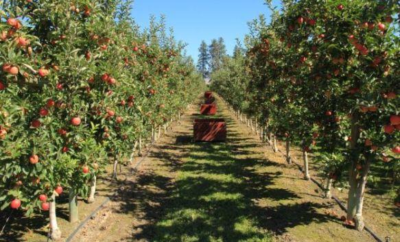 jabuke vocnjak