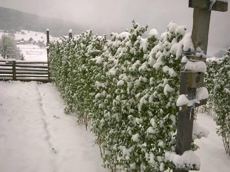snijeg maline