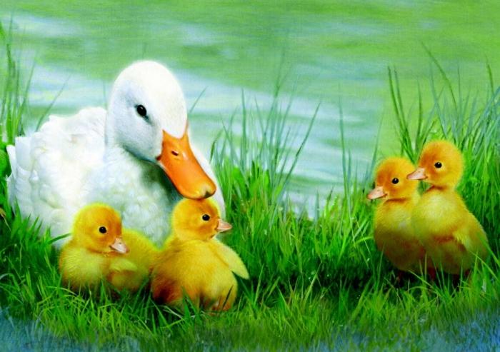 patka i pacici