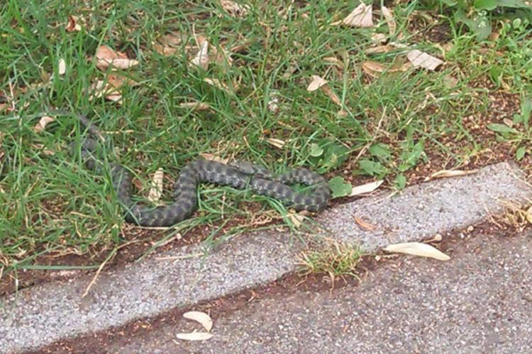 poskok zmija