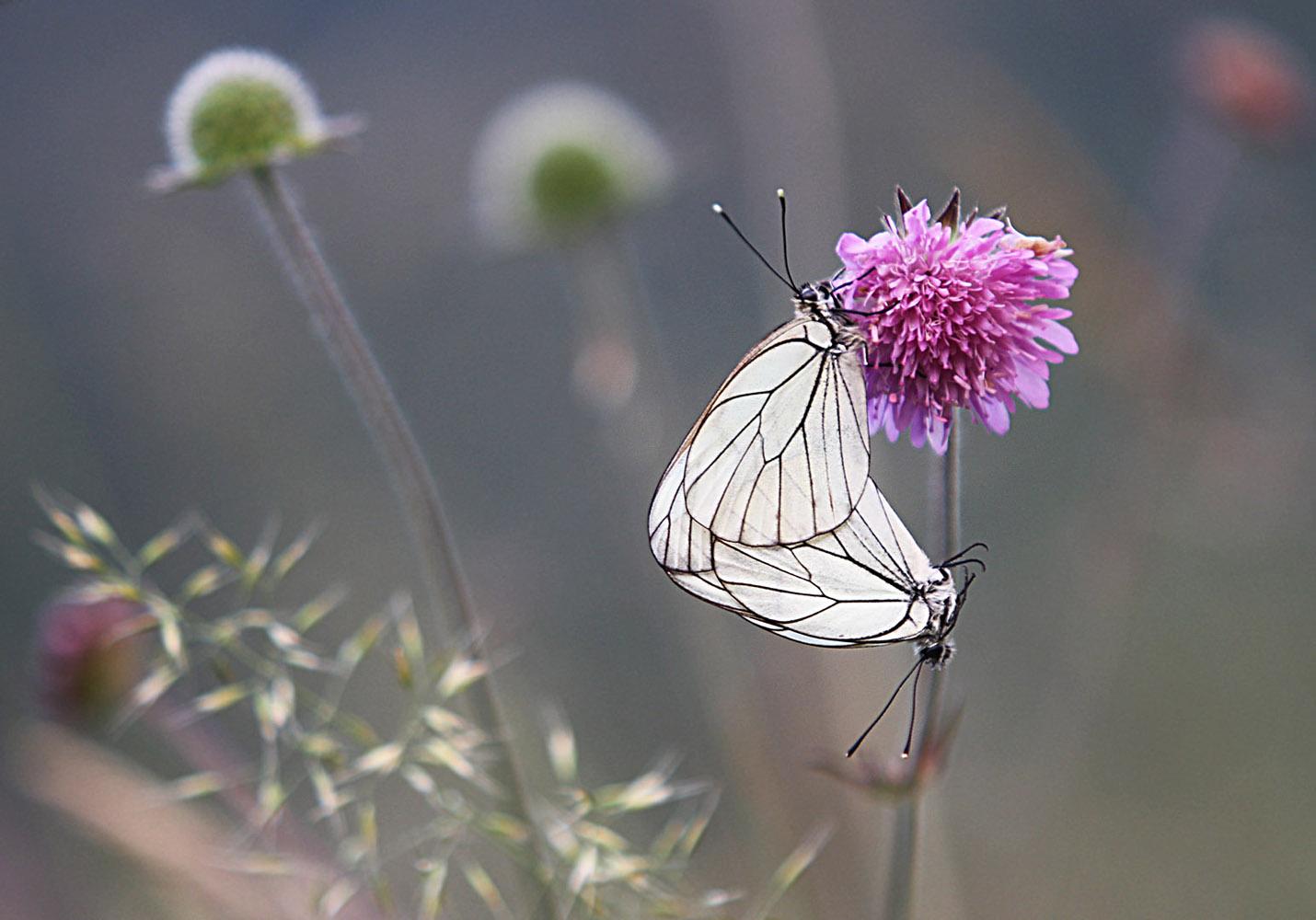 Jelena Djurdjevic - Butterflies in love
