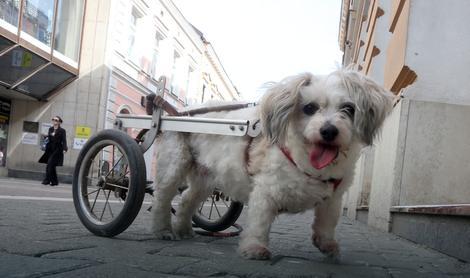 Lola maltezer