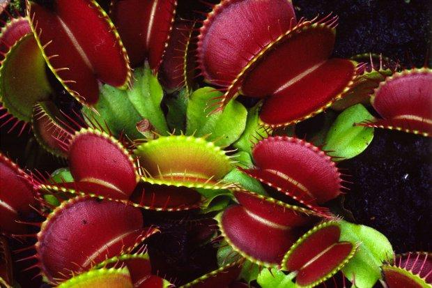 venerina muholovka