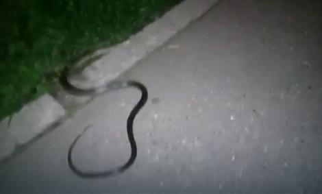 zmija na ulici